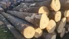 Paulownia - dochodowe drzewa szybko rosnące - 3