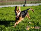 SAMURAJ-b.wesoły, energiczny,bystry psiak w typie psów myśliw