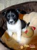 KRÓFFKA-urocza, niewielka wesoła psinka-7 tygodni-szukamyDOMU - 4