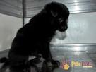 MANIUŚ-kochany niewielki puchaty szczeniaczek-8 tygodni-adop - 6