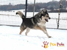 BESKID-wspaniały psiak w typie szorstkowłosego malamuta - 2