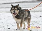BESKID-wspaniały psiak w typie szorstkowłosego malamuta - 7
