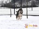 BESKID-wspaniały psiak w typie szorstkowłosego malamuta - 6