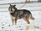 BESKID-wspaniały psiak w typie szorstkowłosego malamuta - 5