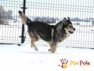 BESKID-wspaniały psiak w typie szorstkowłosego malamuta - 8