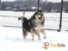 BESKID-wspaniały psiak w typie szorstkowłosego malamuta - 3
