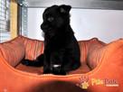 MANIUŚ-kochany niewielki puchaty szczeniaczek-8 tygodni-adop - 1