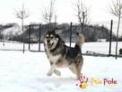 BESKID-wspaniały psiak w typie szorstkowłosego malamuta - 1