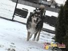 BESKID-wspaniały psiak w typie szorstkowłosego malamuta - 4