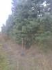 Jodły kalifornijskie , Abies concolor, duże drzewa
