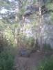 sosna czarna, duże drzewa - 1