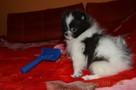 Pomeranian/ szpic miniaturowy . sliczne szczenieta. Gdansk - 3