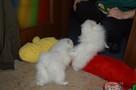 Pomeranian/ szpic miniaturowy . sliczne szczenieta. Gdansk - 6