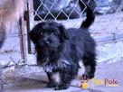 POLUSIA-super fajna, kochana,kudłata sunia-4-5 miesięcy, ADOP - 7