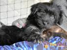 POLUSIA-super fajna, kochana,kudłata sunia-4-5 miesięcy, ADOP - 2