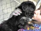 POLUSIA-super fajna, kochana,kudłata sunia-4-5 miesięcy, ADOP - 4