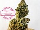 Super Silver Haze susz konopny CBD 5,3% 5 gram