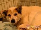BRAFIK-kochany, spokojniutki starszy psiak-szukamy troskliwe - 3