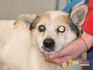 BRAFIK-kochany, spokojniutki starszy psiak-szukamy troskliwe - 7