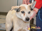 BRAFIK-kochany, spokojniutki starszy psiak-szukamy troskliwe - 9