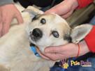 BRAFIK-kochany, spokojniutki starszy psiak-szukamy troskliwe - 11