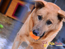 JOGUŚ-bardzo fajny, duży, pogodny psiak szuka domu, adopcja - 4