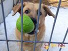 JOGUŚ-bardzo fajny, duży, pogodny psiak szuka domu, adopcja - 3