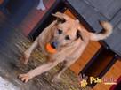 JOGUŚ-bardzo fajny, duży, pogodny psiak szuka domu, adopcja - 5