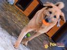 JOGUŚ-bardzo fajny, duży, pogodny psiak szuka domu, adopcja - 8
