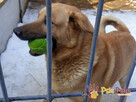 JOGUŚ-bardzo fajny, duży, pogodny psiak szuka domu, adopcja - 2