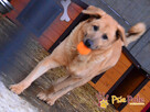 JOGUŚ-bardzo fajny, duży, pogodny psiak szuka domu, adopcja - 6
