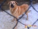 JOGUŚ-bardzo fajny, duży, pogodny psiak szuka domu, adopcja - 9