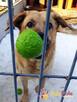 JOGUŚ-bardzo fajny, duży, pogodny psiak szuka domu, adopcja - 1