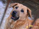 JOGUŚ-bardzo fajny, duży, pogodny psiak szuka domu, adopcja - 10