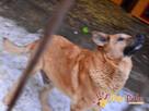 JOGUŚ-bardzo fajny, duży, pogodny psiak szuka domu, adopcja - 11