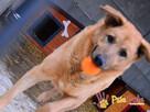 JOGUŚ-bardzo fajny, duży, pogodny psiak szuka domu, adopcja - 7