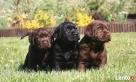 Biszkoptowe szczenięta Labrador Retriever wysokiel klasy Chynów