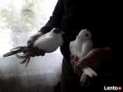 Sprzedam Gołębie Ozdobne Pakość