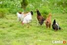 kury kurczęta - 1