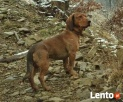 Poszukiwany Pies! Zaginął w Karpnikach Mysłakowice