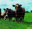 Ukraina.Wolowina,zywiec.Byki miesne 4 zl/kg,cieleta mleczne Katowice