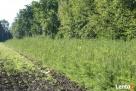 Daglezja zielona 100cm+ Thuja tuja brabant, świerk srebrny,