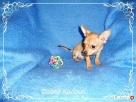 Chihuahua piesek - 2