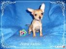 Chihuahua piesek - 4