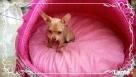 Chihuahua piesek - 5