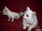 Chihuahua piesek - 8