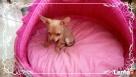 Chihuahua piesek - 1