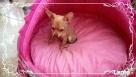 Chihuahua piesek - 3