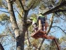 wycinka drzew Katowice SOSNOWIEC Dąbrowa Górnicza Będzin - 2