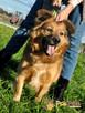 KELWINEK-nieduży, spokojny kudłaty psiak-5-6 lat-szukamyDOMU - 3